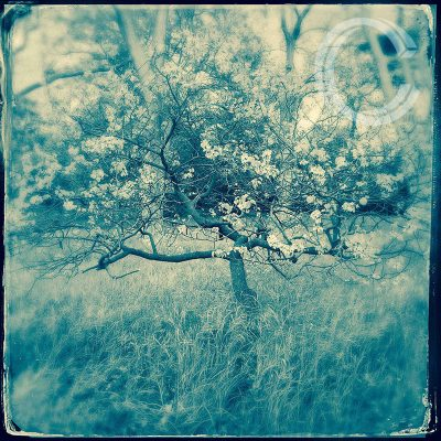 Blossom Tree by Carolyn Quartermaine