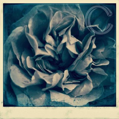 Rose Giant Polaroid by Carolyn Quartermaine