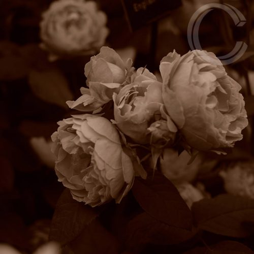 Sepia Roses 2 by Carolyn Quartermaine