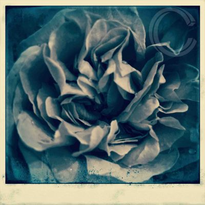 Blue Rose by Carolyn Quartermaine