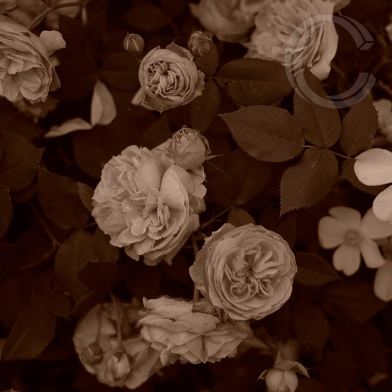 Sepia Roses 5 by Carolyn Quartermaine