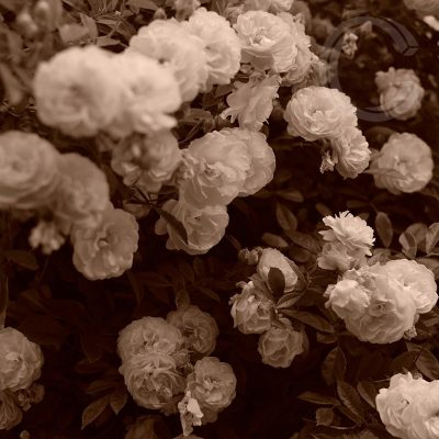 Sepia Roses 6 by Carolyn Quartermaine